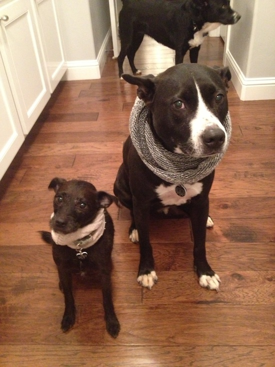Jackson and Peezu looking fabulous in scarves. My dad's dog in the background is clearly jealous.
