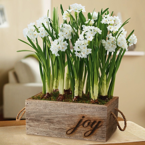 holiday-paperwhites-plant-gift