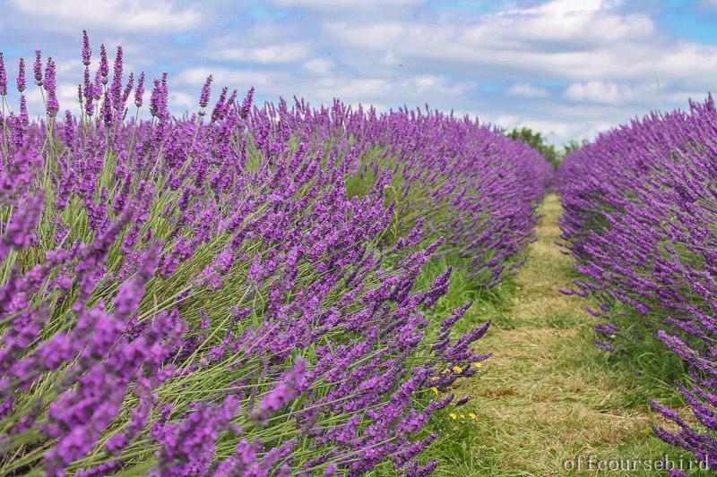 Mayfield Lavender Farm -