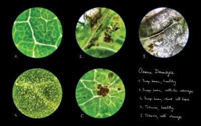 ozone damage through light microscope