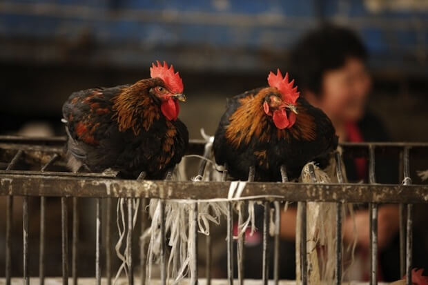 Chickens to be processed