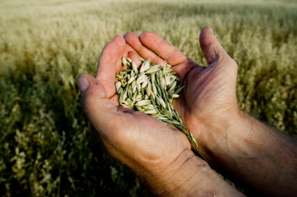 Farmer holding crops. Great working hands! shallow dof.