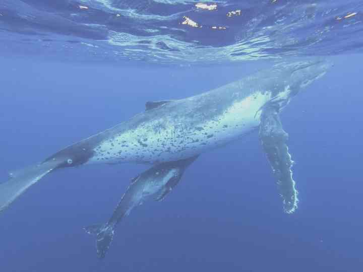 swim with whales in Tonga 8 scaled