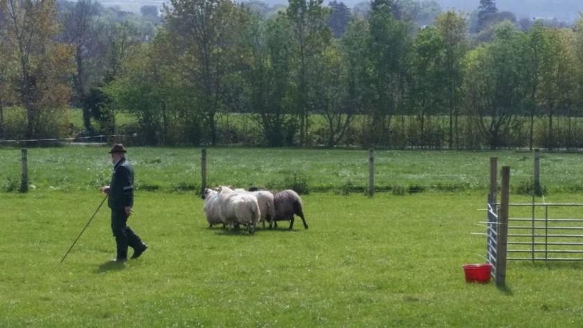sheep dog demo Woolapalooza - office mum