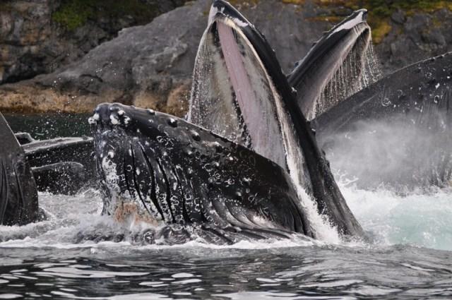 Alaska cruising whale mouth