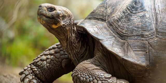 Hurtigruten Galapagos, tortoise