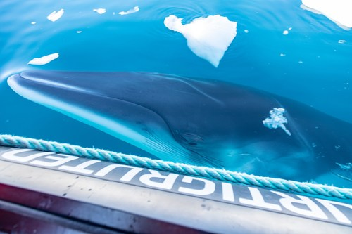 Hurtigruten will help research and protect Antarctica whales and mammals
