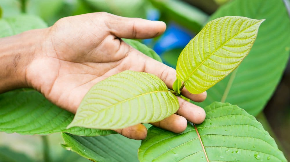 Feature | Green Vein Bali Kratom: 9 Things You Need To Know