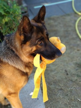A dog with a yellow toy