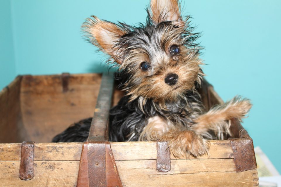 When Do Yorkies Stop Growing The Stages Of A Yorkies Life