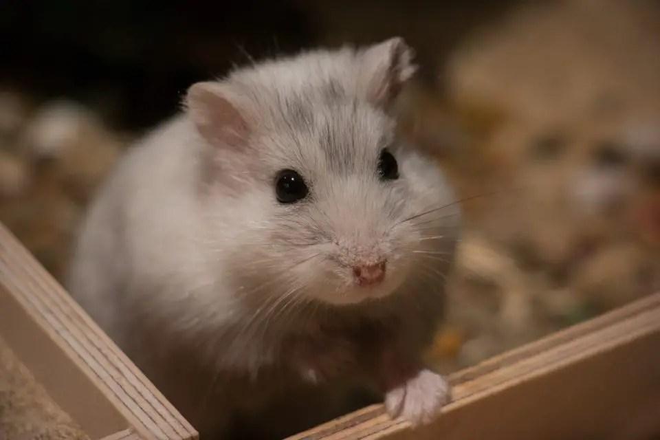Dwarf hamster in bedding