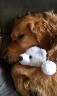 A cute golden retriever with a cuddly toy