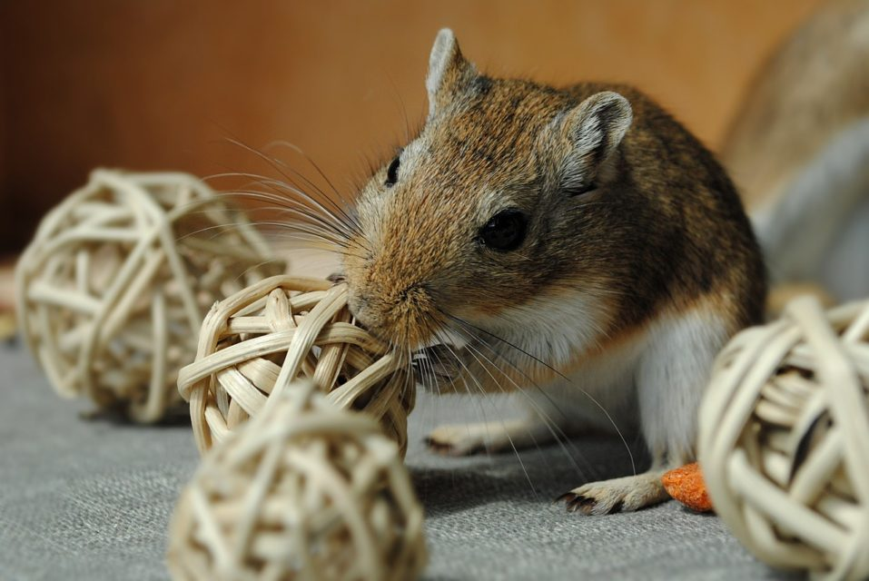 Best cage for gerbils