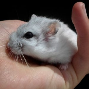 What is The Best Bedding for Dwarf Hamsters? - Officially Pets