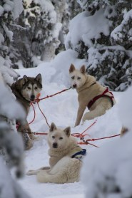 Smart huskies set up to pull a sled