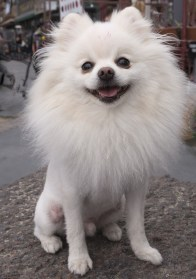A small white dog