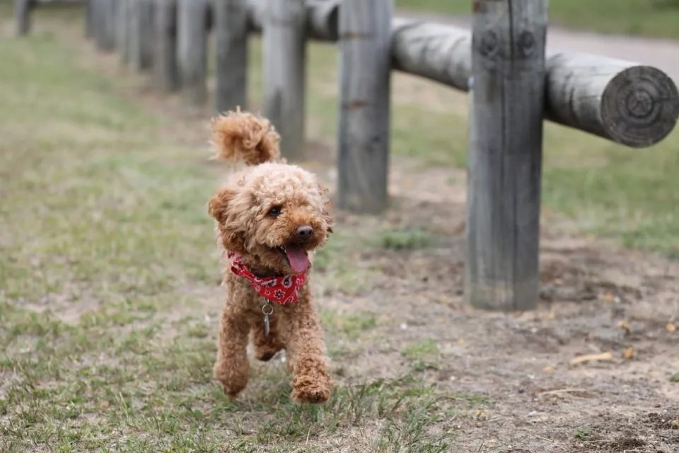 The Best Non-Shedding Small Dogs! - 10 Hypoallergenic Dog Breeds
