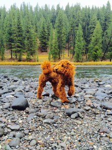 A cute goldendoodle puppy in the forest