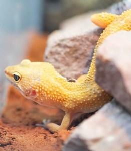 Yellow reptile