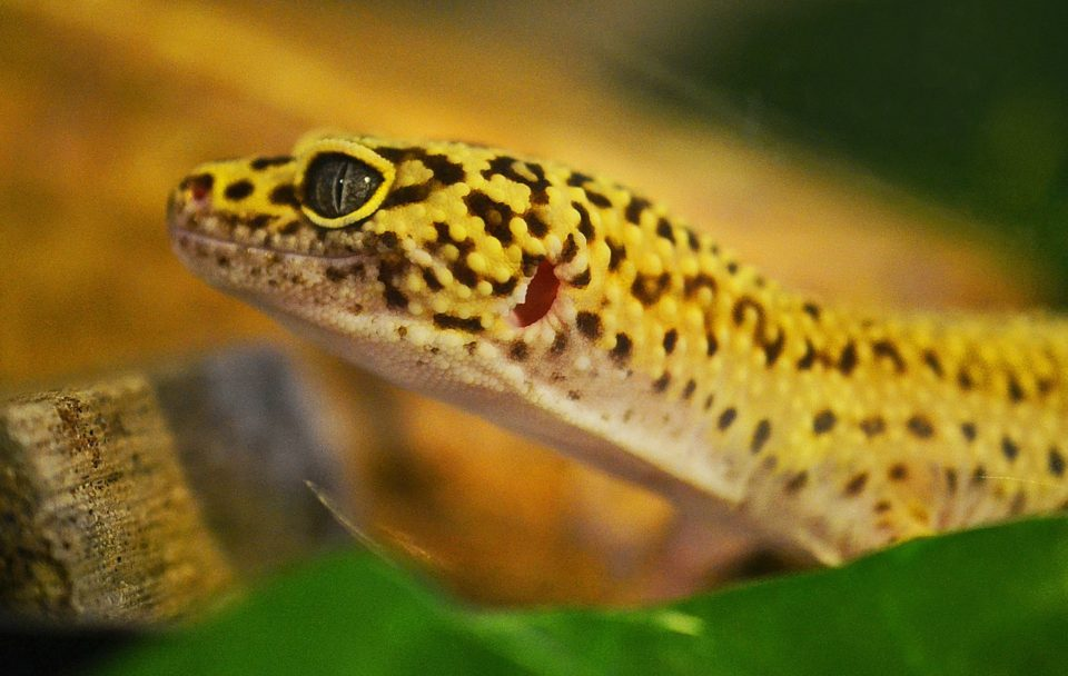Multi coloured reptile