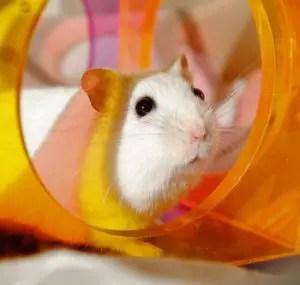 Hamster in plastic tubes