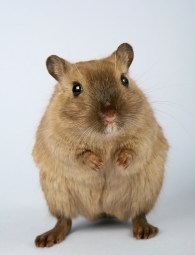 A rodent