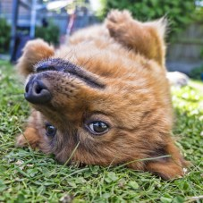A dog rolling over