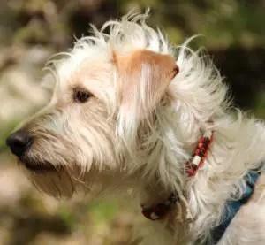 A dog looking forward