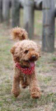 Yorkie Poo Vs Multipoo A Detailed Comparison Of Both Dog Breeds