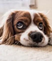 A dog begging