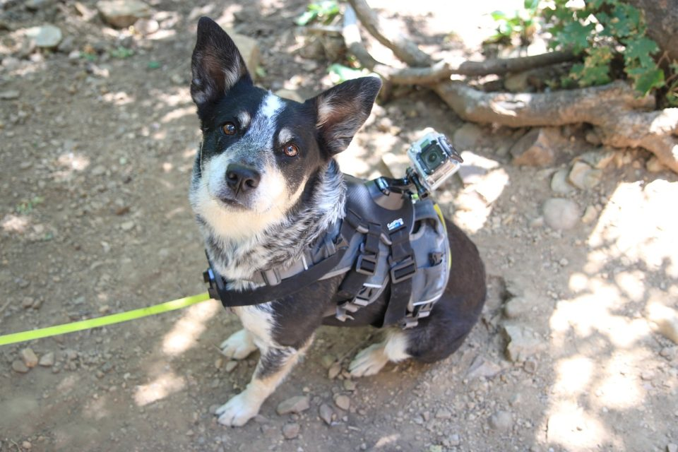 A dog in a harness