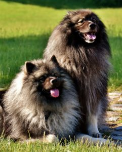 Two long haired dogs