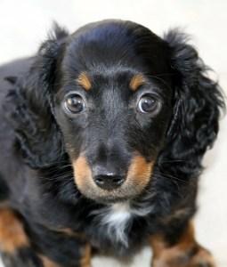 A dachshund