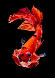 A betta fish