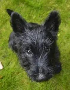 A Scottish terrier