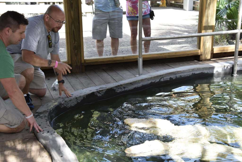 Wild Florida Albino Gator Training Encounter