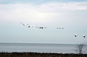 Snowgeese_1