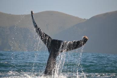 Acrobatic humpback whale
