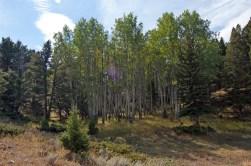 A small aspen grove.