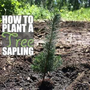 How to Plant a Tree Sapling + Our House in the Trees Update
