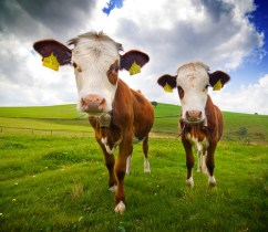 Two Cows…The Missing Nigerian Cows Are Finally Found