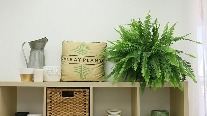 According to NASA, a Boston Fern is one of the best house plants known to purify indoor air.