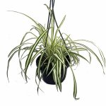 According th NASA, the spider plant is great for purifying indoor air.