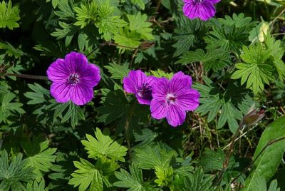 Geraniums repels bugs such as mosquitoes.