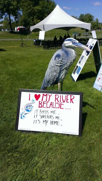 Great Blue Herons love their rivers!