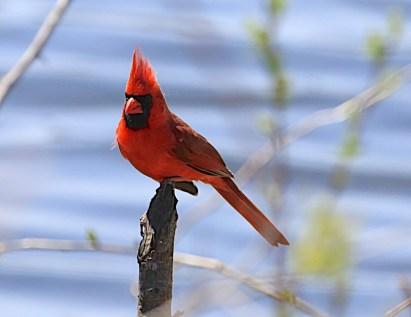 Northern cardinal (Cardinalis cardinalis), Mud Lake, May 2014