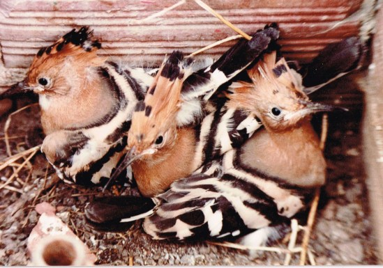 Young Hoopoes ready to fledge