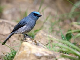 Dull-blue flycatcher (Aruna Seneviratne)
