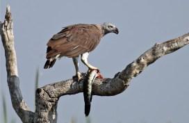 Grey-headed fish eagle (John A. Thompson)