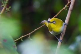 Sri Lanka White-eye (Dev Wijewardane)